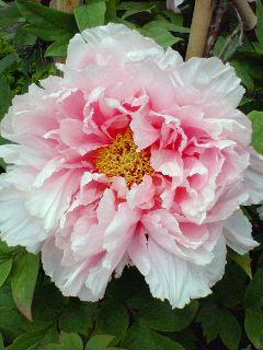 鎌倉で牡丹花盛り