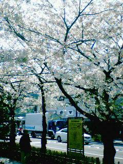 鎌倉の桜まだ見頃です〜♪