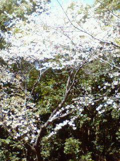 今日の鎌倉・・桜の様子は?