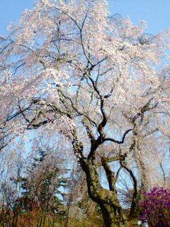 河口湖☆富士ビューホテルの桜