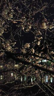 鎌倉の桜、見頃はいつ?